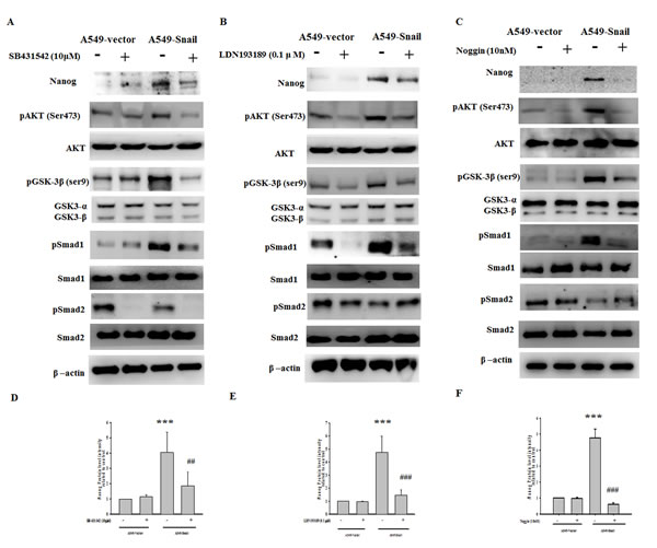 Snail-induced Nanog expression is regulated by Smad1/Akt/GSK3β pathway activation.