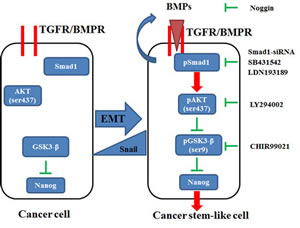 Diagram showing the induction of stem cell-like properties by Snail via the activation of the Smad1/Akt/GSK3β pathway and subsequent upregulation of Nanog expression.