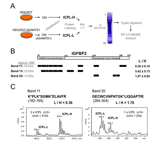 Proteomic approach for the identification of ADAMTS1 substrates.