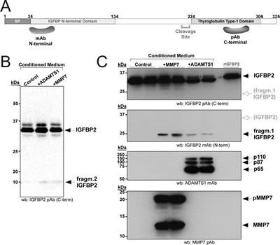 Proteolysis of IGFBP2 in HEK293T cells.