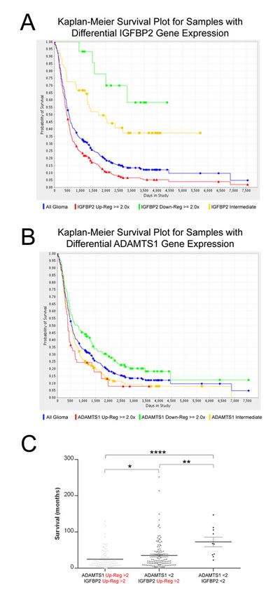 Evaluation of IGFBP2 and ADAMTS1 expression in the REMBRANDT database.