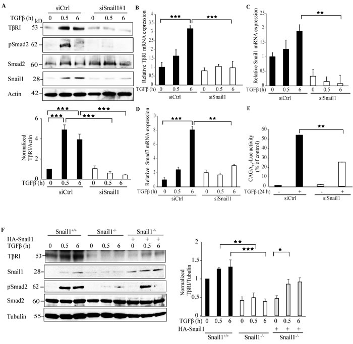 Snail1 regulates TβRI expression.