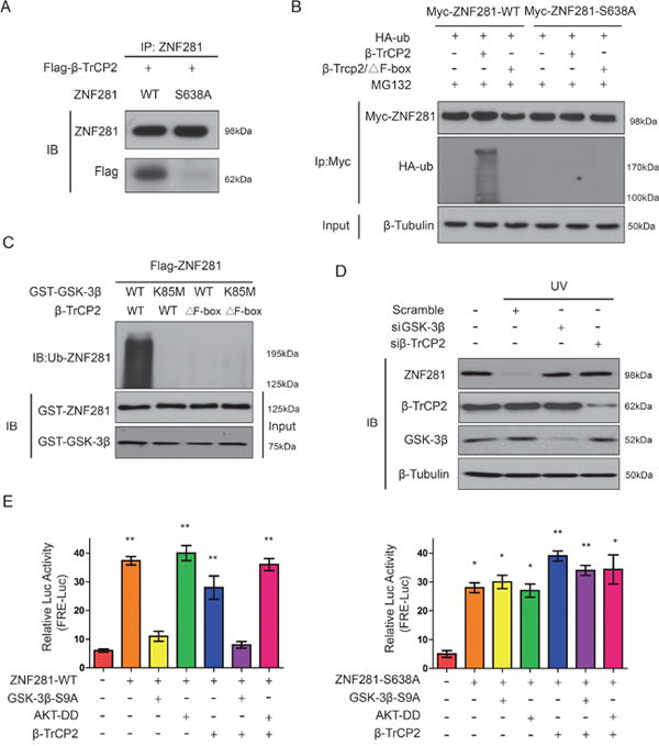 Phosphorylation of ZNF281 at Ser638 by GSK-3β promotes its binding to β-TrCP2 and degradation.