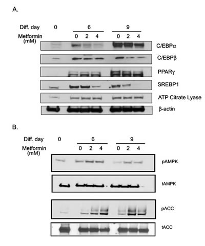 FIGURE 4: Metformin inhibited adipogenesis regulating transcription factors and activates AMPK.