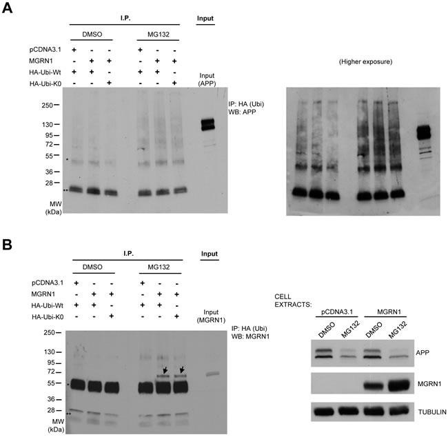 MGRN1 does not influence APP ubiquitination.