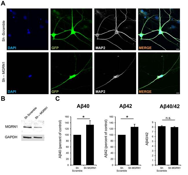 MGRN1 knockdown increases Aβ secretion in neurons.