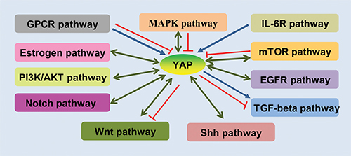 Schematic demonstration of the crosstalks of YAP with other pathways.