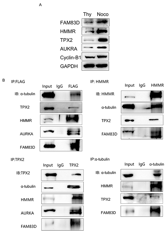 Physical interaction among FAM83D, α-tubulin, HMMR, TPX2 and AURKA.