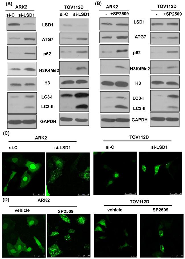 Inhibition of LSD1 activates autophagy.