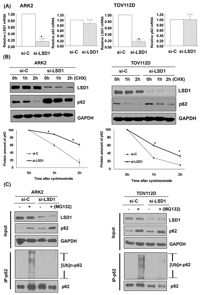 LSD1 decreases p62 protein stability.