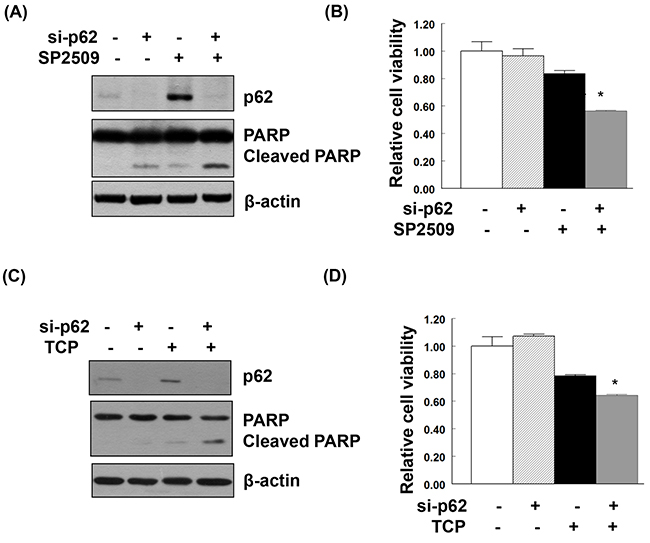 Additive effect on apoptosis and suppression of cell viability induced by the combination of LSD1 inhibitors and p62 knockdown.