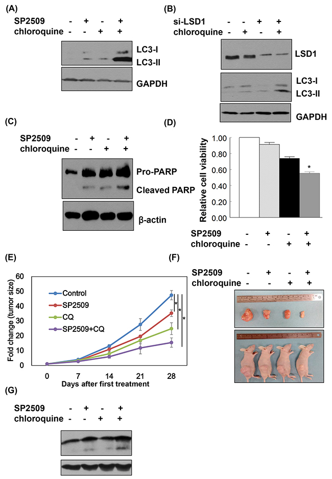 LSD1 inhibition and autophagy blockade exert synergistic effects on cancer cell apoptosis.