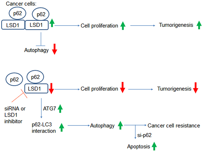 Summary of the interactions between LSD1 and p62.