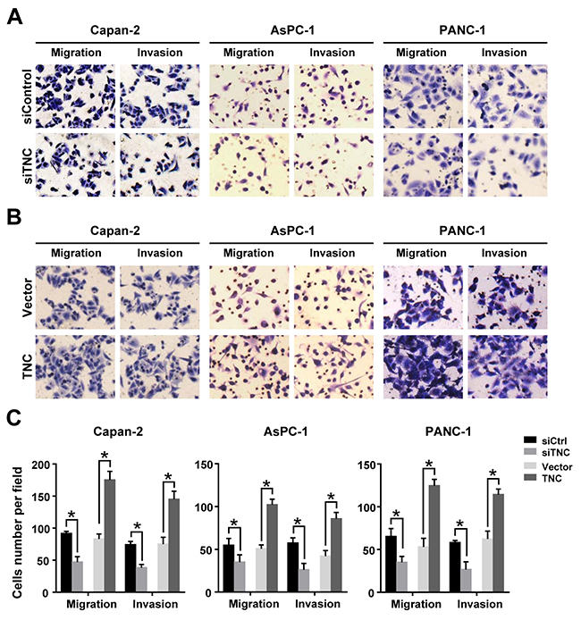 TNC promotes pancreatic cancer cell migration and invasion.