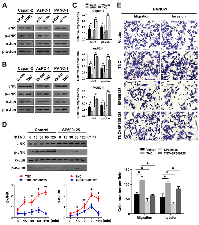 JNK signalling mediates TNC regulation of cell migration and invasion.