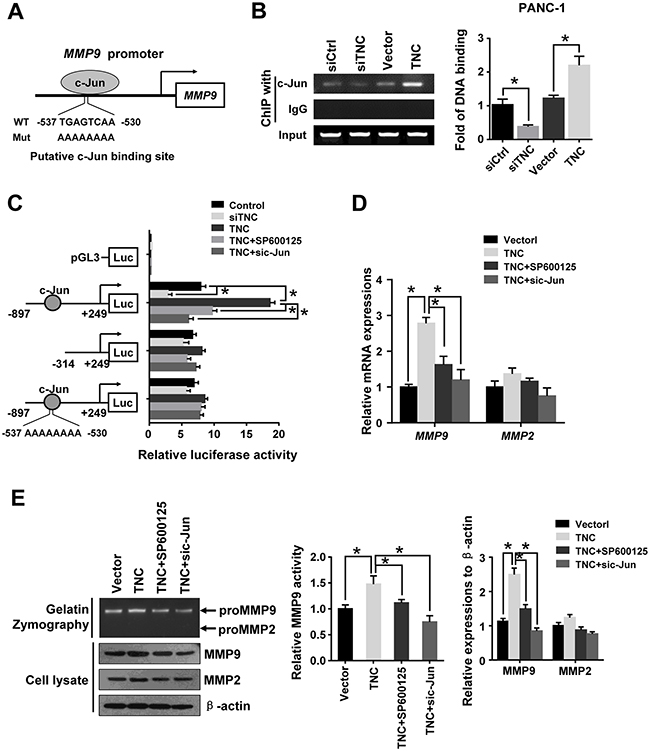 C-Jun was required for TNC-induced MMP9 expression.