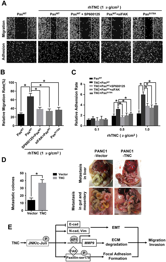 TNC promotes tumour cell migration and adhesion by regulating JNK/Paxillin/FAK signals.