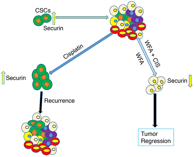Schematic representation of effects of WFA and CIS both alone and in combination on targeting of cancer stem cells and eventual tumor regression or state of tumor recurrence in relation to securin expression.