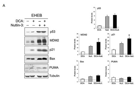 Activation of p53 pathway by DCA+Nutlin-3 combination