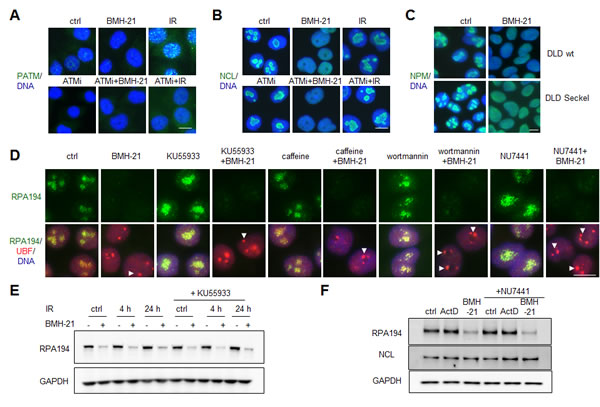 BMH-21 acts in a DNA damage independent manner to activate nucleolar stress and RPA194 degradation.