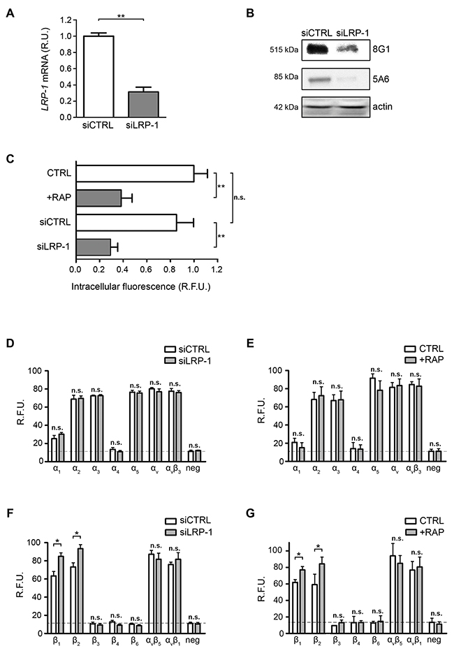 Cell surface β1-integrin accumulates under LRP-1 inhibition or silencing.