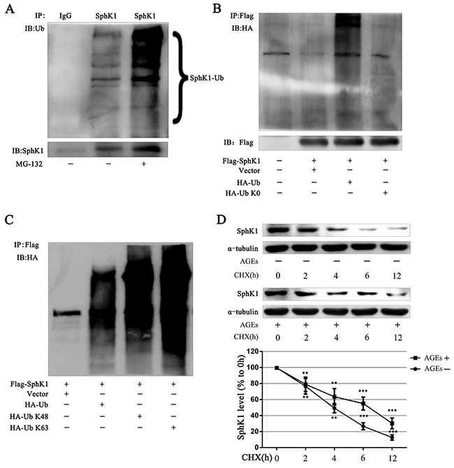 SphK1 could be ubiquitinated and AGEs stabilized the SphK1 protein in GMCs.