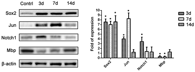 Western blot analysis of protein levels of 4 selected representative differentially-expressed genes (Sox2, Jun, Notch1, and Mbp) from the PCR array.