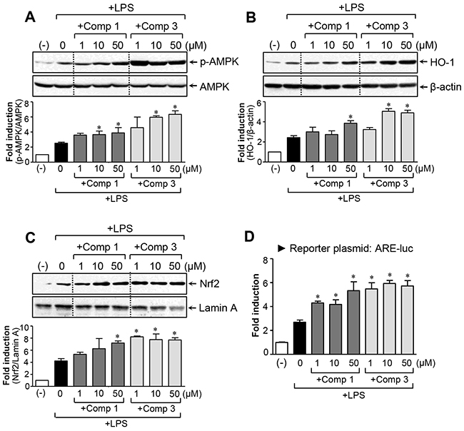 Effects of comp 1 and 3 on AMPK and Nrf2/ HO-1 signaling pathways.