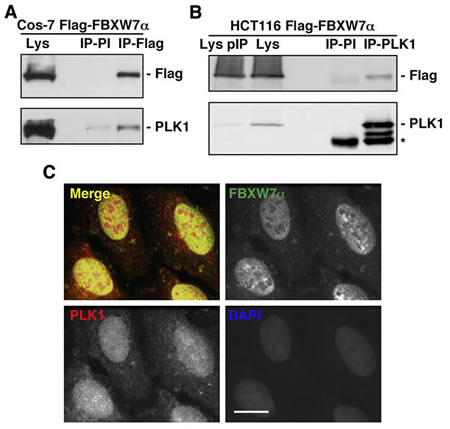 FBXW7α and PLK1 interact in the nuclei of mammalian cells.