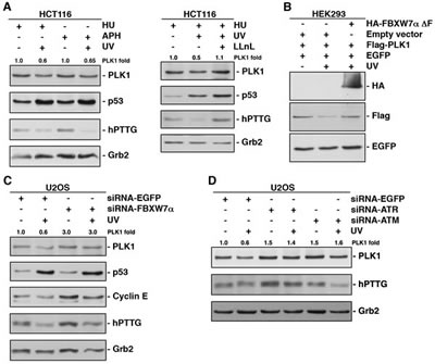 UV irradiation accelerates PLK1 degradation in S phase of the cell cycle via SCF