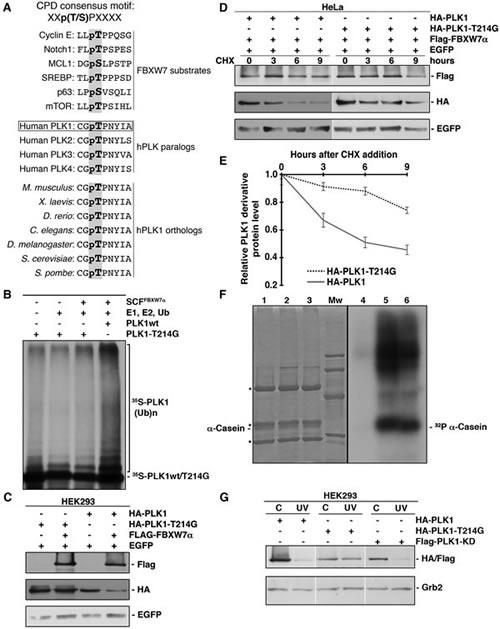 PLK1 possesses a functional CPD motif.