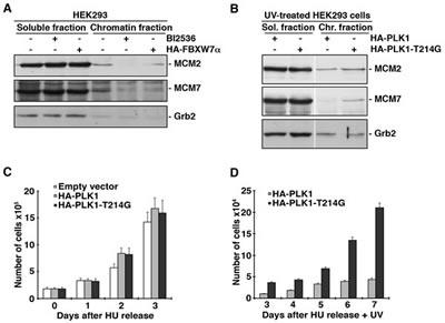 PLK1 degradation by SCF