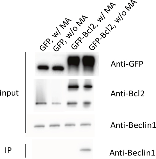 The co-immunoprecipitation of Beclin1 by overexpressed Bcl2 was interrupted by the presence of MA.
