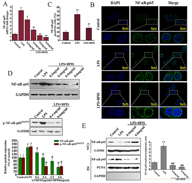 BPIS prevented nuclear translocation of NF-κB in LPS treated HT-29 cells.