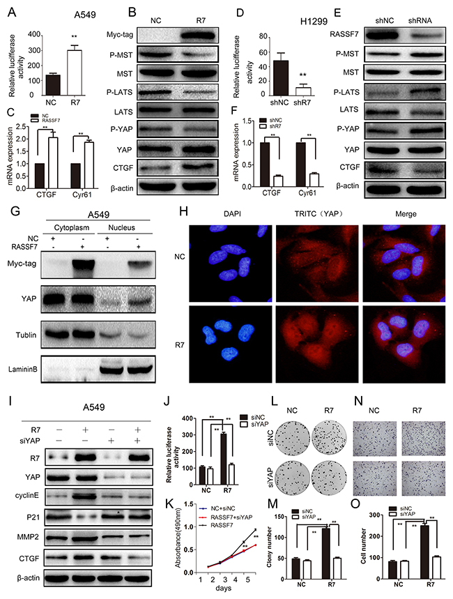 RASSF7 increases NSCLC cell proliferation, migration and invasion by inhibiting Hippo signaling.