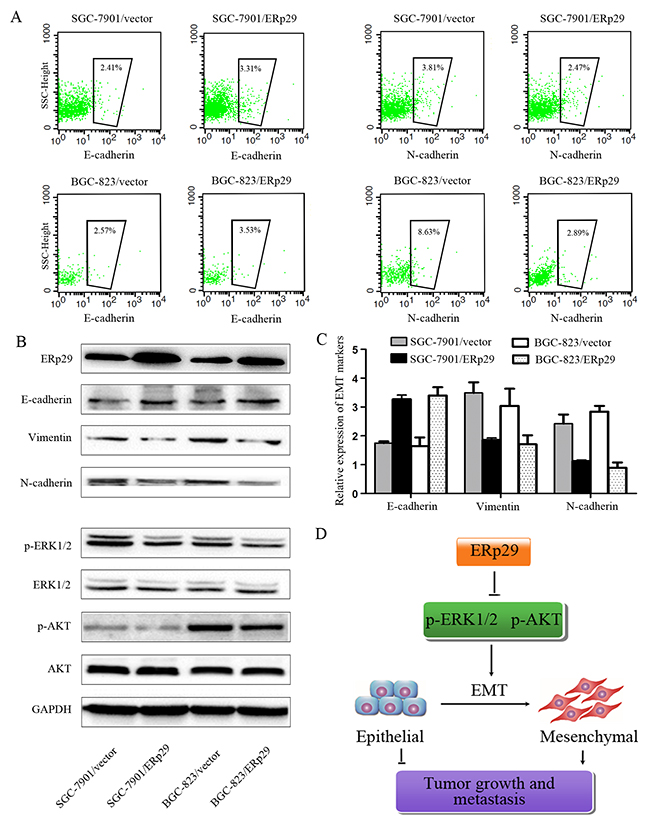 Effects of ERp29 on EMT process of GC cells.