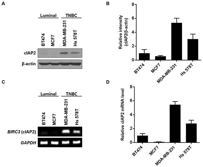 cIAP2 expression in breast cancer cell lines.