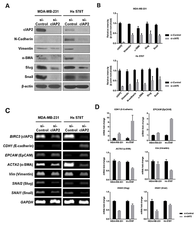 Analysis of EMT-associated molecules in TNBC cells (MDA-MB-231 and Hs 578T) with cIAP2 silencing.