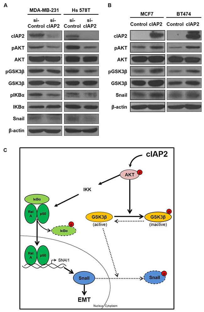 cIAP2 promoted the EMT through the AKT signaling pathway.