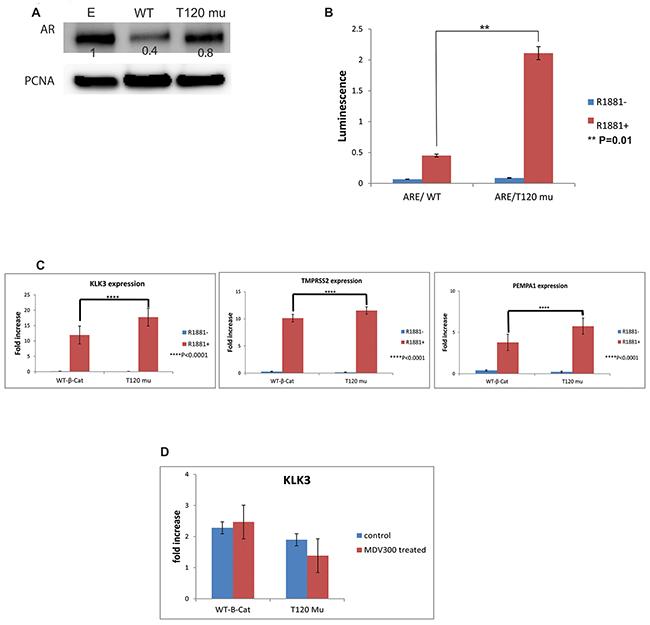 The effect of unphosphorylated T120 mutant beta-catenin on androgen receptor (AR) activity.