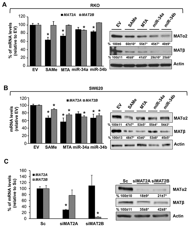 Effects of SAMe, MTA, miR-34a and miR-34b on MAT2A and MAT2B expression.