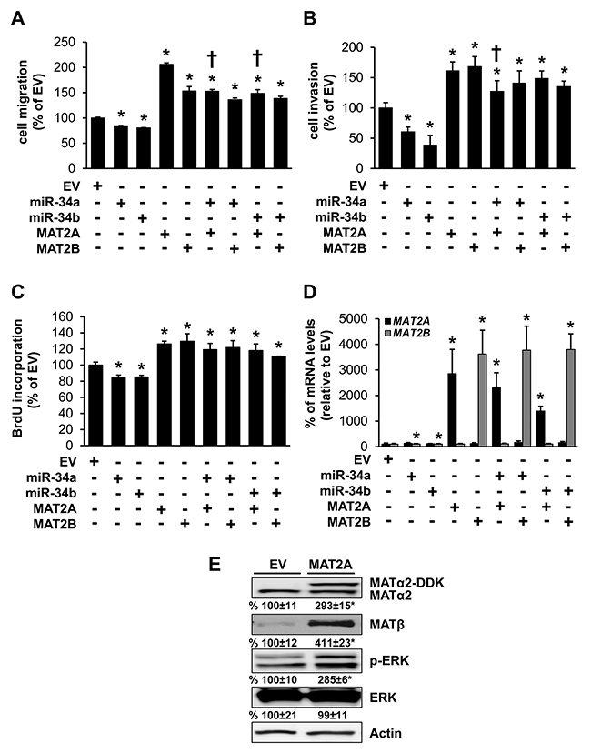 Effects of MAT2A, MAT2B, miR-34a and miR-34b in colon cancer cell migration, invasion and growth.