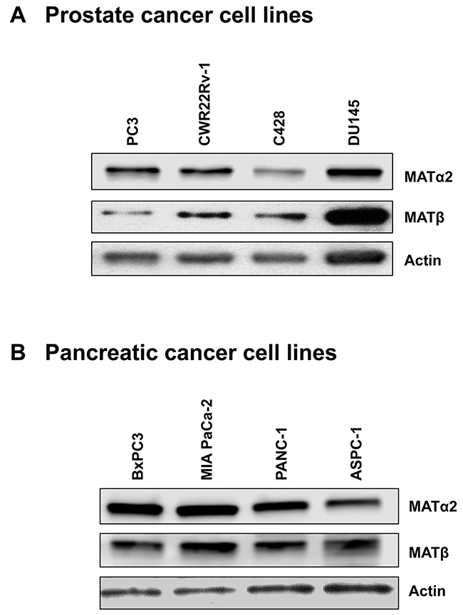 Expression of MATα2 and MATβ in prostate and pancreatic cancer cell lines.