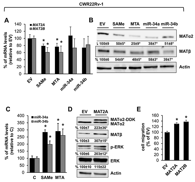MAT2A and MAT2B expression is down-regulated by SAMe, MTA, miR-34a and miR-34b in prostate cancer cell line.