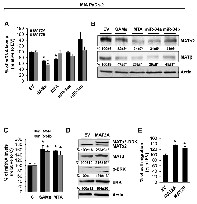 MAT2A and MAT2B expression is down-regulated by SAMe, MTA, miR-34a and miR-34b in pancreatic cancer cell line.