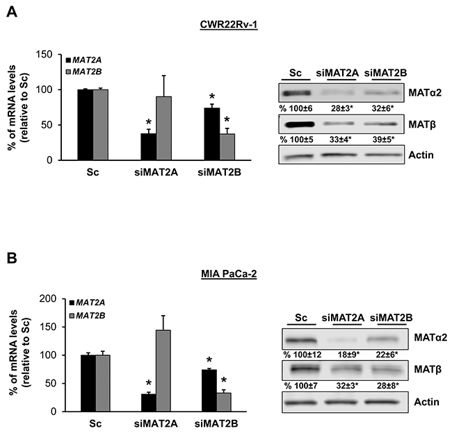 MAT2A and MAT2B proteins stabilize each other in CWR22Rv-1 and MIA PaCa-2 cells.