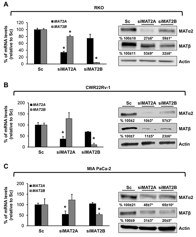 MAT2A and MAT2B proteins stabilize each other in RKO, CWR22Rv-1 and MIA PaCa-2 cells.
