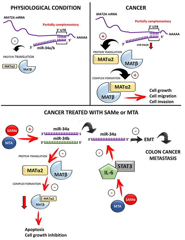 Summary diagram of miR-34a/b-MAT2A/MAT2B axis and treatment with SAMe or MTA.