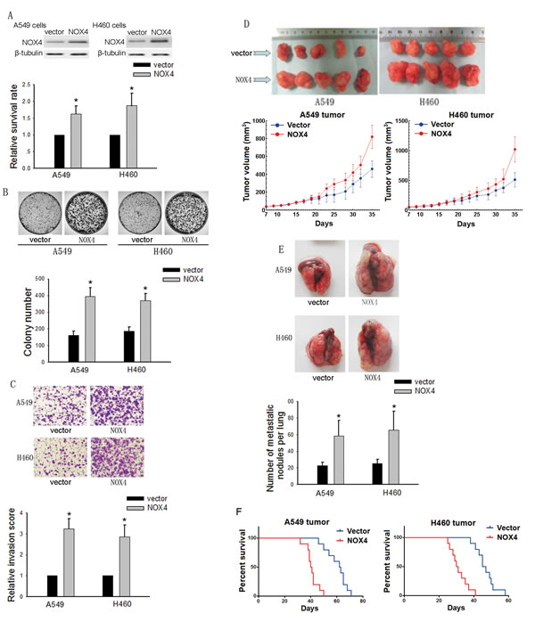 Effects of NOX4 overexpression on the aggressiveness of NSCLC cells both