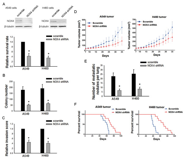 Silencing NOX4 inhibits the malignant properties of NSCLC cells both